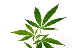 Attorney for Marijuana Possession Defense in Austin, TX